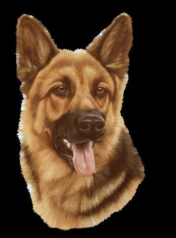 Chiens - Dessin de chien berger allemand ...